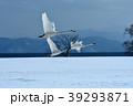 白鳥 猪苗代 冬の写真 39293871