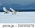 白鳥 猪苗代 冬の写真 39293878