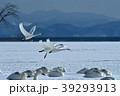 白鳥 冬 鳥の写真 39293913