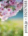 桜 春 ヨウコウ桜の写真 39297688