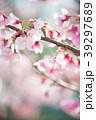 桜 春 ヨウコウ桜の写真 39297689