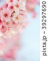 桜 春 ヨウコウ桜の写真 39297690
