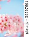 桜 春 ヨウコウ桜の写真 39297691