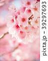 桜 春 ヨウコウ桜の写真 39297693