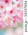 桜 春 ヨウコウ桜の写真 39297694