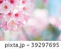 桜 春 ヨウコウ桜の写真 39297695