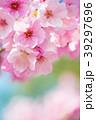 桜 春 ヨウコウ桜の写真 39297696