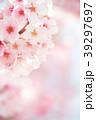 桜 春 ヨウコウ桜の写真 39297697