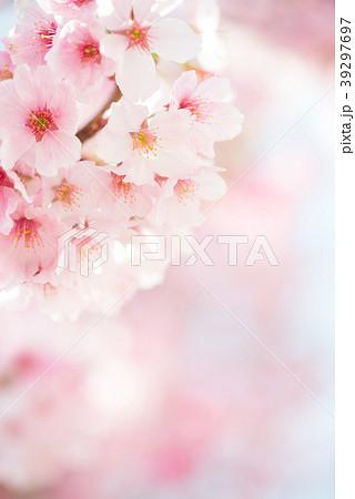 満開のヨウコウ桜 春のイメージ写真 permingM 39297697