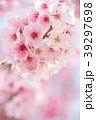 桜 春 ヨウコウ桜の写真 39297698