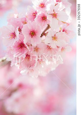 満開のヨウコウ桜 春のイメージ写真 permingM 39297698