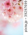 桜 春 ヨウコウ桜の写真 39297699