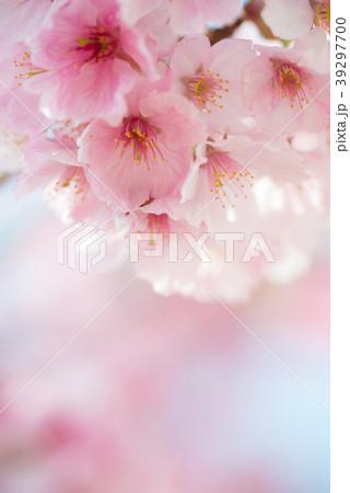 満開のヨウコウ桜 春のイメージ写真 permingM 39297700