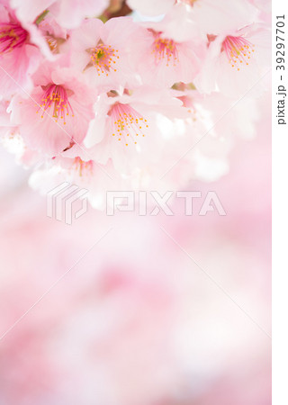 満開のヨウコウ桜 春のイメージ写真 permingM 39297701