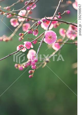 梅の花 permingM  季節の花 写真素材 39298647
