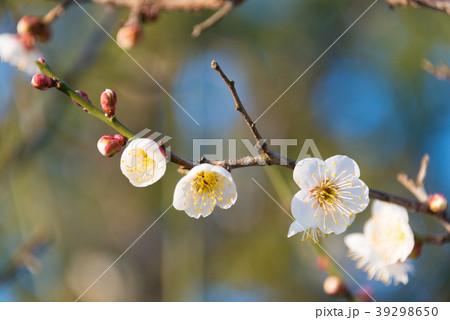 梅の花 permingM  季節の花 写真素材 39298650