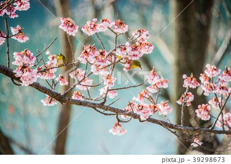 寒桜とメジロ permingM 季節の花 写真素材 39298673