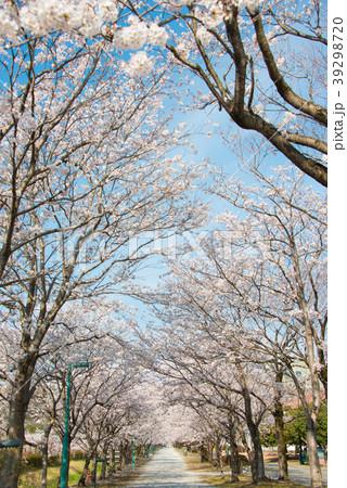 桜の並木道 permingM 季節の花写真素材  39298720