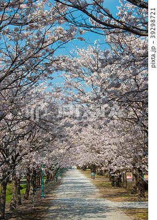桜の並木道 permingM 季節の花写真素材  39298721