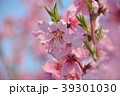 桃の花 桃 花の写真 39301030
