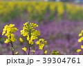 菜の花 菜花 花の写真 39304761