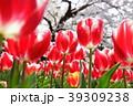 ちゅーりっぷと桜 39309238