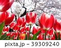 ちゅーりっぷと桜 39309240