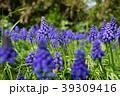 紫の花 39309416