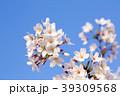 桜 ソメイヨシノ 花の写真 39309568