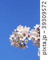 桜 ソメイヨシノ 花の写真 39309572