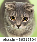 猫 動物 小動物の写真 39312304