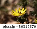 福寿草 フクジュソウ ミツバチ セイヨウミツバチ みつばち 初春 3月 長野 咲く 春 蜂 生物 39312679