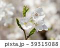 桜の花と新芽 39315088