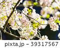 夜桜 夜 桜の写真 39317567