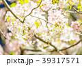 夜桜 夜 桜の写真 39317571