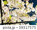 夜桜 夜 桜の写真 39317575