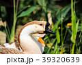 台灣生態公園 鴨子跟鵝  39320639