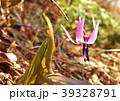 カタクリ 山野草 花の写真 39328791