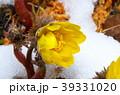 福寿草 花 春の写真 39331020