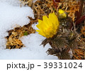 福寿草 花 春の写真 39331024