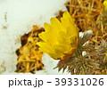 福寿草 花 春の写真 39331026
