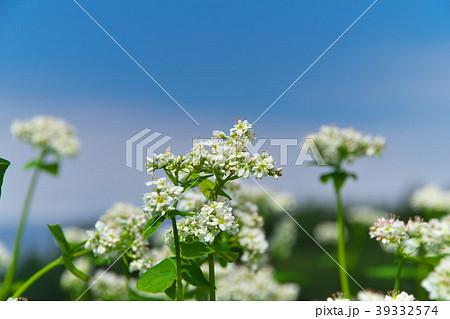 ソバの花 ソバ畑 39332574