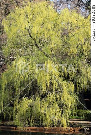 しだれ柳の新緑 井の頭恩賜公園井の頭池 39332688