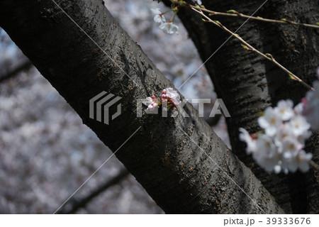 春の桜一分咲き 39333676