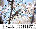 春の桜とヒヨドリ1 39333678