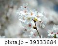 春の風に揺れる満開の桜の花 39333684