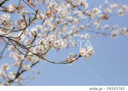 百年公園の桜2 39335782