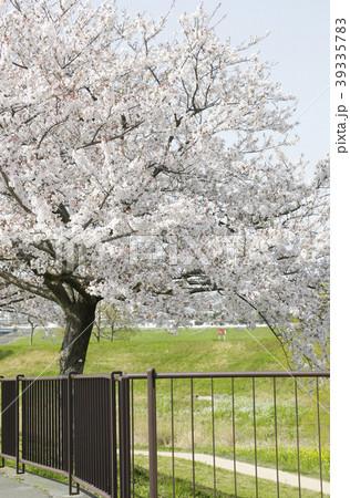 百年公園の桜3 39335783