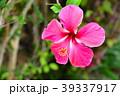 ハイビスカス 花 アップの写真 39337917