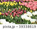 チューリップ 花 花畑の写真 39338619